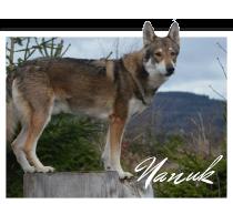 hunde_nanuk