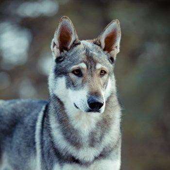 *18.06.2015<br>wolfsgrau mit Maske<br>75 cm, 39 kg