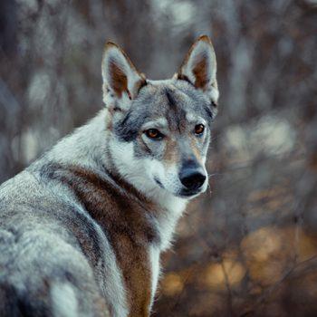 *16.10.2013<br>wolfsgrau<br>60 cm, 29 kg